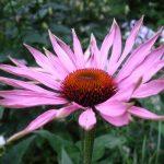 Εχινάτσια (echinacea)